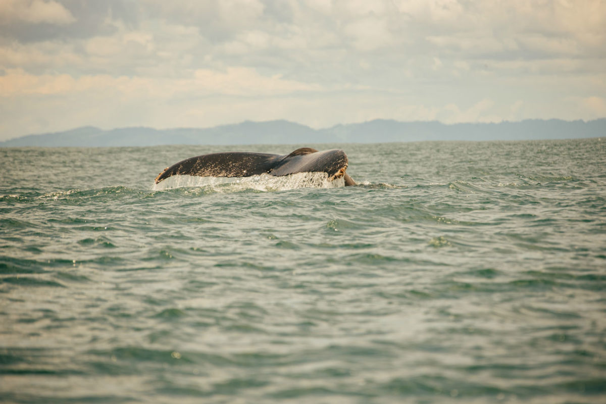 whale tail breaching water