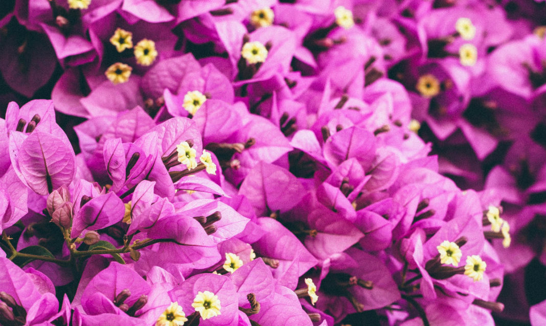 A close-up of purple bougainvillea, a plant discovered by Jeanne Baret.