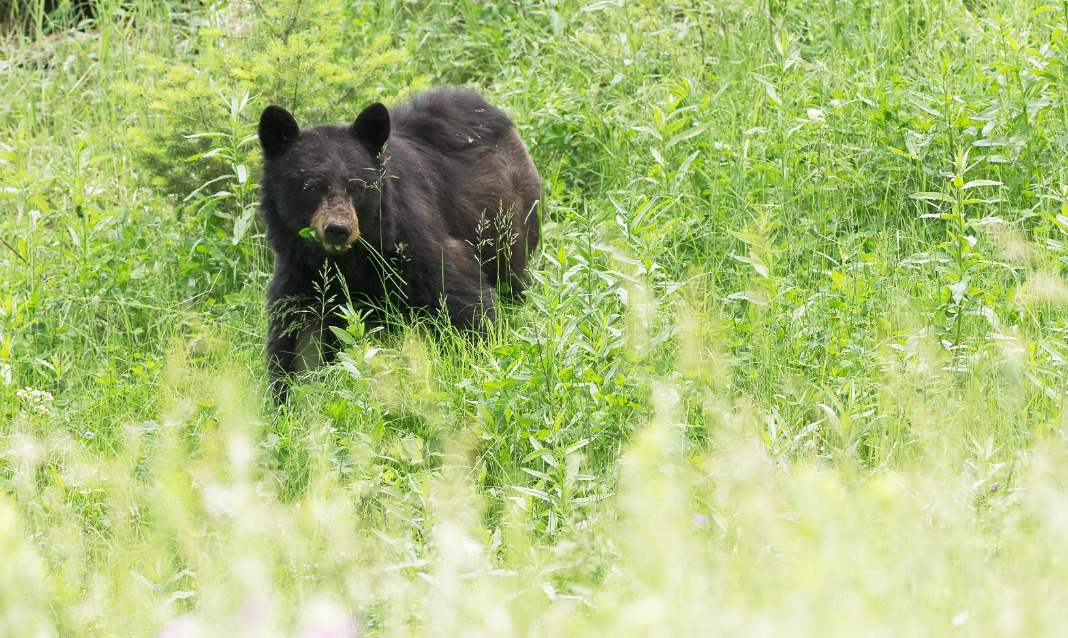 A black bear surrounded by tall, green plants.