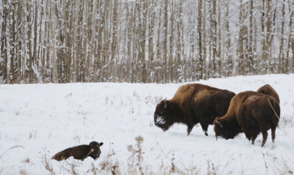 Several fully grown bison and a calf in Elk Island National Park.
