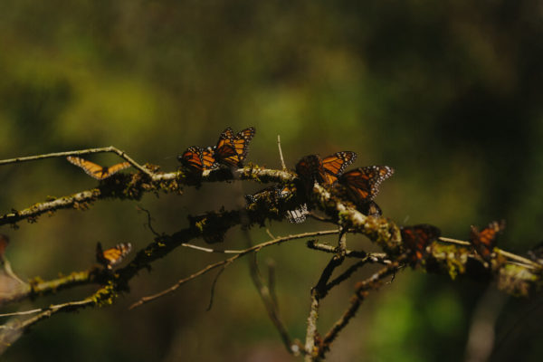 monarch butterfly family on tree branch