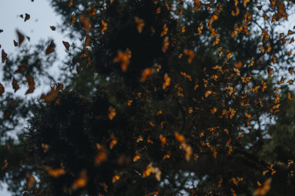 monarch butterfly cluster in trees