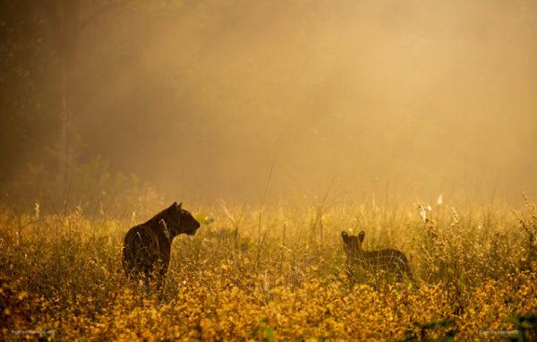 tiger encounter at dawn